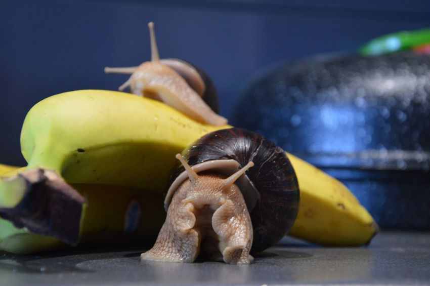 Pet Portraits Snail Snail🐌 Snails Snails🐌 Achatina Achatina Fulica Snail Collection Snail Photography Banana Pets Photography Petstagram Pet