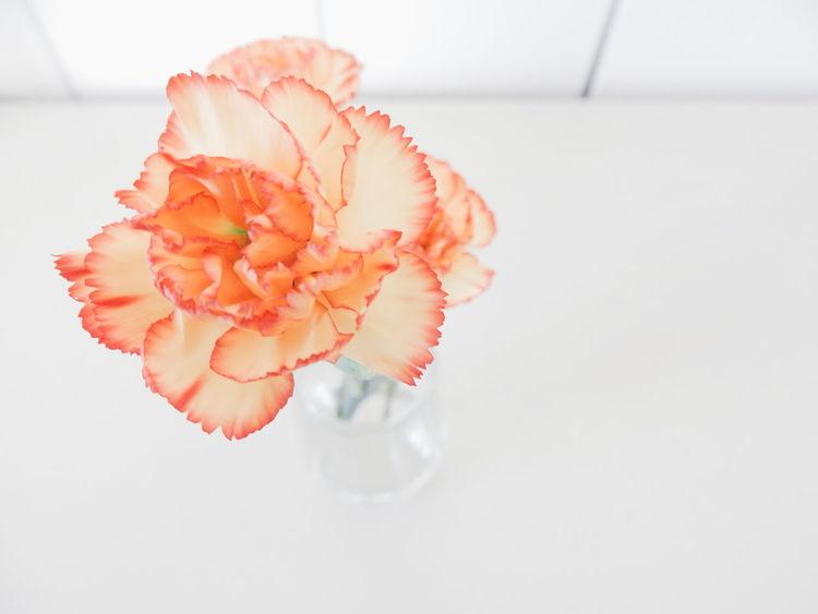 carnation flowers Carnation Flowers CarnationWhite Background Nelika Orange Flowers Flower Head Flower Collection Flower Flowers Light Bright Pastel Power Pastel Colors Pastel A Bird's Eye View