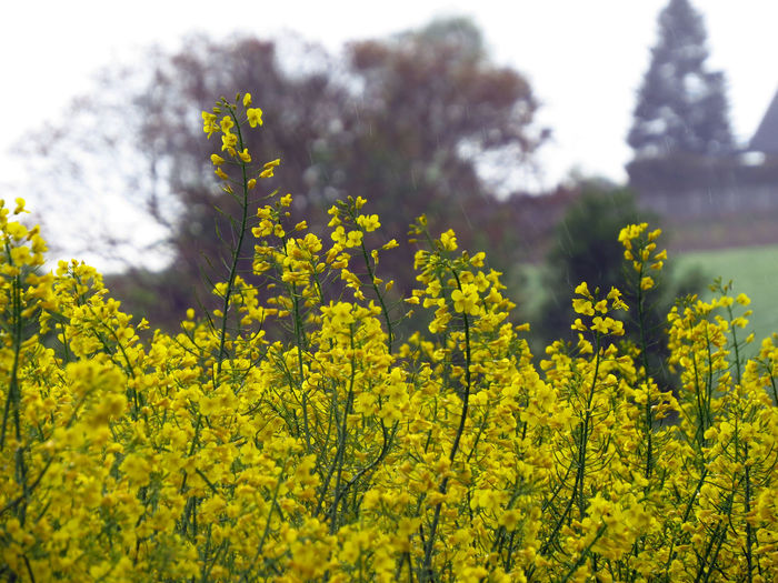 Plant Growth Yellow Beauty In Nature Land Flowering Plant Oilseed Rape Oilseed Rapeseed Rapeseed Field Agriculture Agricultural Field Agricultural Land Rural Scene Rural Yellow Plant Yellow Color Canola Canola Field Field Colza Rap Rape Seed Fields Raps Rapsfeld Rapsblüte Farming Organic Farming Crop  Crops Rapeseed Oil Colza Field Fields Flower Vulnerability  Springtime Fragility Outdoors Rain Spring Rain Freshness Nature No People Day Tranquility Close-up Focus On Foreground Tree Selective Focus Springtime Decadence