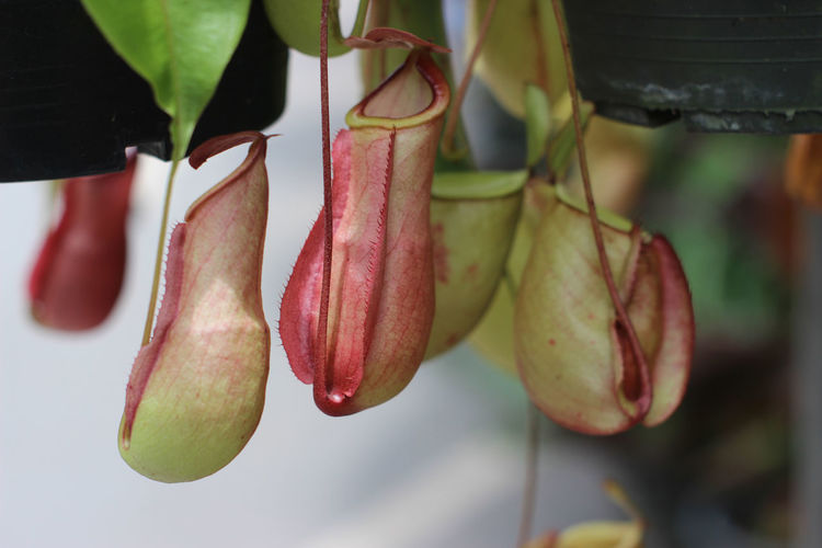 Nepenthes tree,