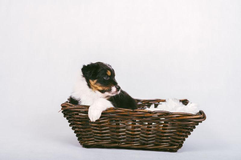 Dog looking at basket on white background