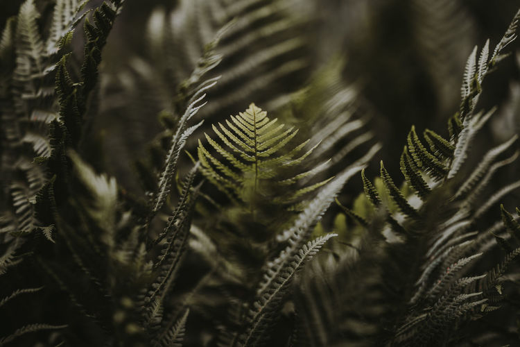 Green ferns Backgrounds Beauty In Nature Botanical Close-up Day Fern Ferns Full Frame Green Color Greenery Growth Leaf Leaves Natural Pattern Nature Needle - Plant Part No People Outdoors Pattern Pine Tree Plant Plant Part Selective Focus Tranquility Tree