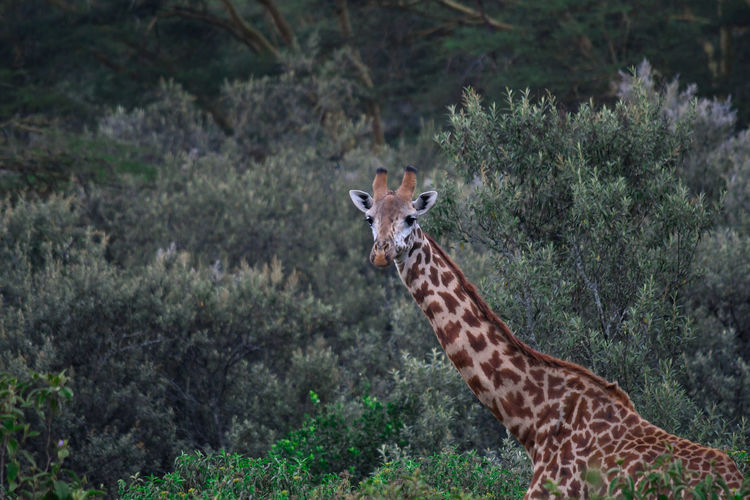 Side view of giraffe standing in forest