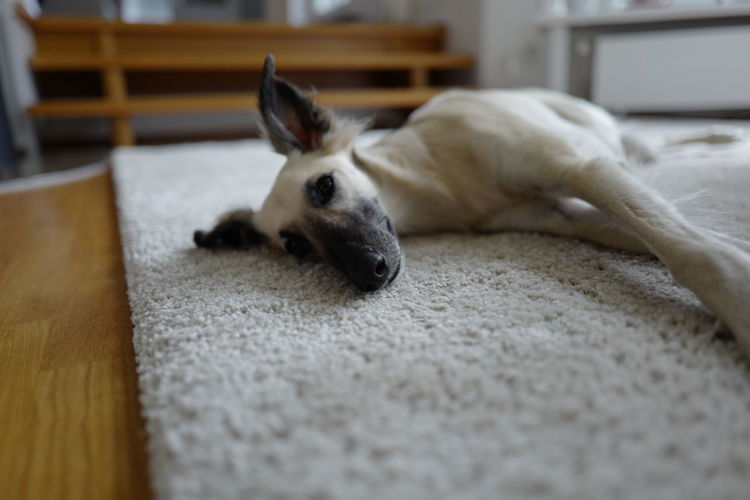 Close-up of whippet lying on rug