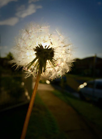 Dandelion Beauty In Nature Blossom Close-up Dandelion Flower Flower Head Focus On Foreground Nature Outdoors Sky