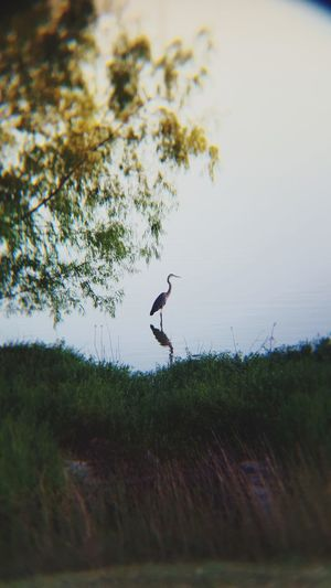 Great Blue Heron Animals In The Wild Water Bird Focal Shot