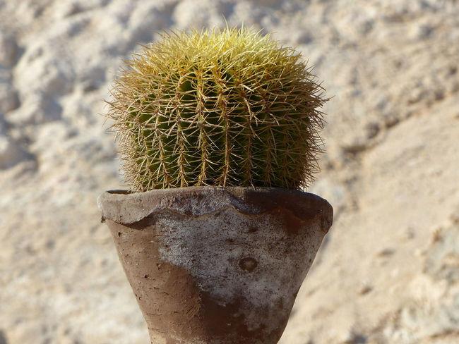 Beautiful Nature Cactus Desert Focus On Foreground Plant Plants Pot Spur Sting Stone Stone Material Ton Pot