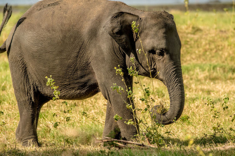 Elephant in grass