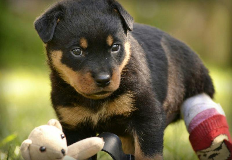 My little man, Hugo, with his splint still on. Bcspcavictoriabranch Hugoandhisrottieadventures Fosterpuppy Fostertoadopt Rottweilerpups Rottweilerlife Rescuedog Rottweiler Dog