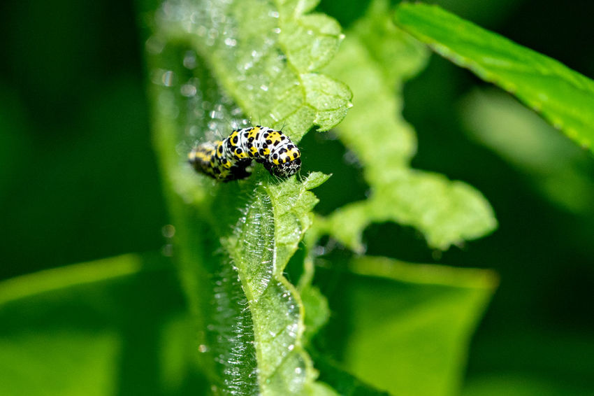 Mullein moth caterpillar Mullein Moth Mullein Moth Caterpillar Animal Animal Themes Animal Wildlife Animals In The Wild Beauty In Nature Close-up Day Fragility Green Color Growth Insect Invertebrate Leaf Mullein Caterpillar Nature No People One Animal Outdoors Plant Plant Part Selective Focus