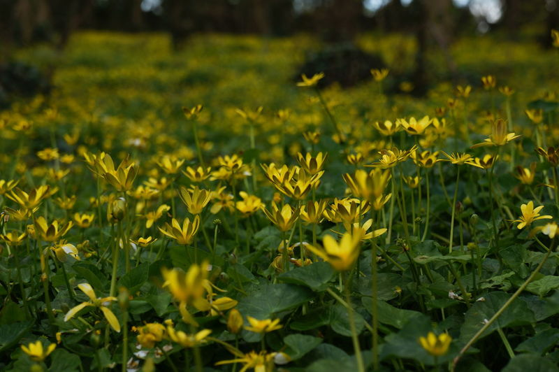Beauty In Nature Blooming Celendines Close-up Day Field Flower Flower Head Fragility Freshness Growth Nature No People Outdoors Plant Yellow