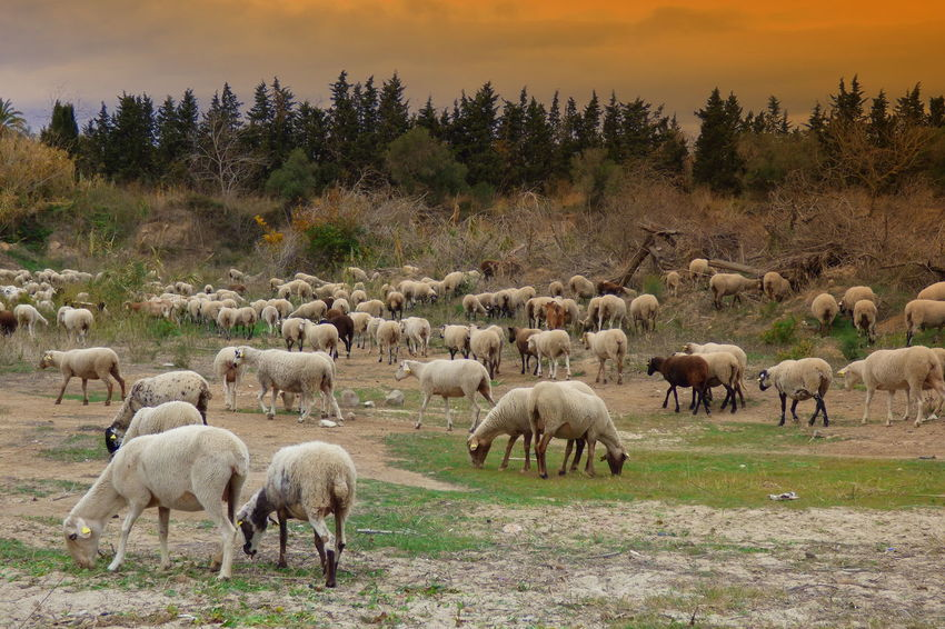 Animal Themes Day Domestic Animals Field Flock Of Sheeps Grass Grazing Large Group Of Animals Livestock Mammal Nature No People Outdoors Sheep Tree