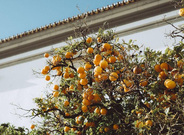 Citrus Fruit Freshness Fruit Growth Low Angle View Nature No People Orange Orange - Fruit Orange Color Outdoors Plant Ripe Tree