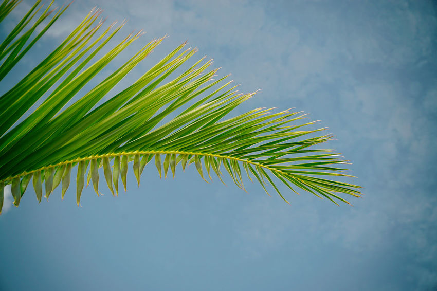 Palm Tree Leaf Sky Palm Leaf Low Angle View Nature Scenics Green Color Analogue Photography Tranquility Eyeem Collection Eyeem MarketPalm Tree Growth Leaf Sky Palm Leaf Low Angle View Nature Scenics Palm Frond Green Color Branch Tranquility Beauty In Nature EyeEm Selects Sommergefühle