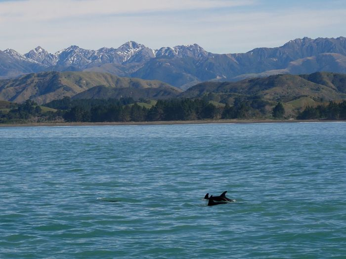 Dolphin over Kaikoura range Mountain Water Mountain Range Scenics - Nature Nature Animal Animal Wildlife