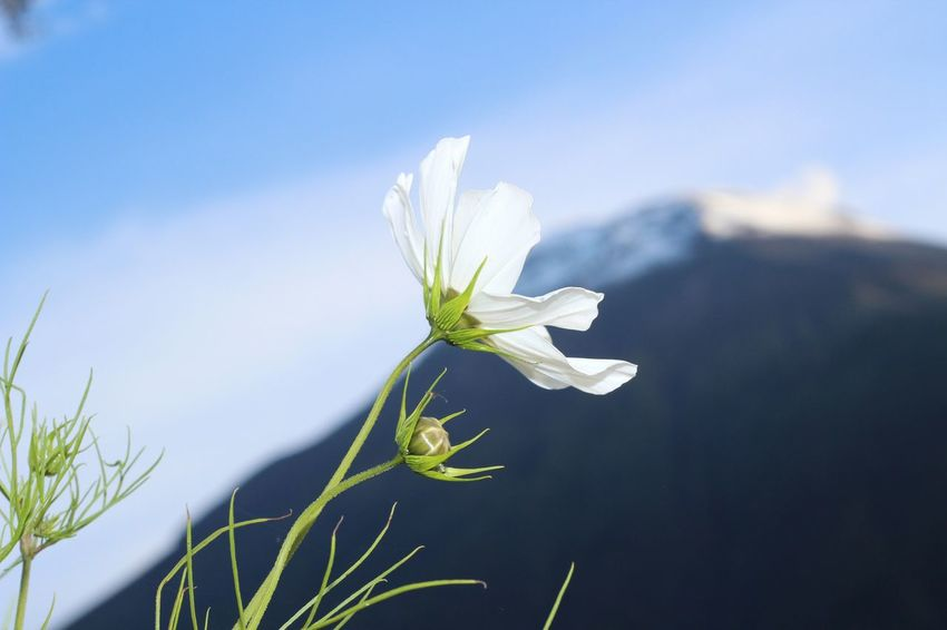 Beautiful Baños Beauty In Nature Blooming Blue Close Up Close-up Day Delicate Ecuador Flower Flower Head Fragility Freshness Green Color Growth Leaf Nature No People Outdoors Petal Plant Selective Focus Sky Snowdrop White Background White Color
