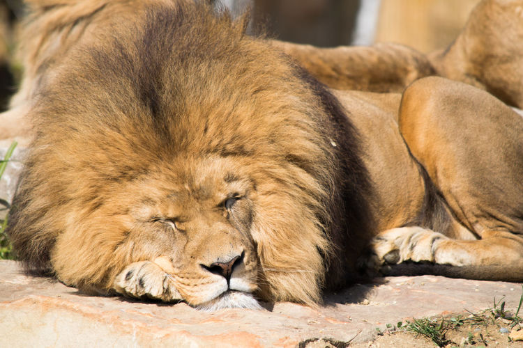Close-up of lion lying down