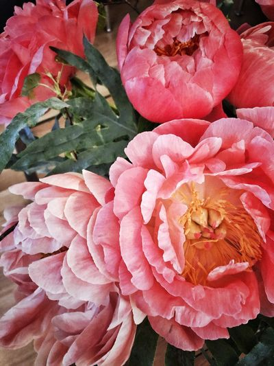 Picoftheday Photography Pfingstrose Pink Pfingstrosen Flower Pink Color Flowering Plant Plant Freshness Close-up Beauty In Nature Fragility Vulnerability  Growth Inflorescence Red Nature Flower Head Full Frame