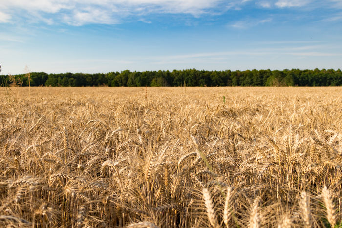 Grain field in summer Agriculture Barley Beauty In Nature Cereal Plant Crop  Crowd Day Field Food Grain Growth Harvest Landscape Nature No People Outdoors Rye Field Scenics Sky Sky And Clouds Straw Tranquil Scene Tranquility Wheat