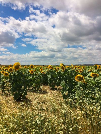 Green Color Green Blue Sunflower Cloud - Sky Sky Plant Beauty In Nature Growth Nature Flower Land Yellow Day No People Tranquility Field Scenics - Nature Flowering Plant Landscape Environment Freshness Tranquil Scene Agriculture