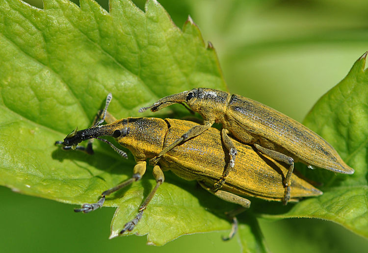 Animal Behavior Animal Themes Animal Wildlife Animals In The Wild Beauty In Nature Close-up Day Green Color Insect Leaf Macro Macro Insects Mating Mating Season Nature No People One Animal Outdoors Plant Two Insects EyeEmNewHere
