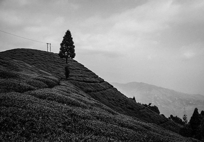 Traversing Gopaldhara Tea Estate! . . . Darjeeling Tea Blackandwhite Highcontrast Wideangle Jj_landscapes Foto_blackwhite Amateurs_bnw Bnw_planet Bnw_rose Bnw_landscape Bnw Travel Travelingram Natgeotravel Lonelyplanetindia Ig_india Ig_bengals OnlyinIndia IndiaLove Natgeo Betterphotography Onlyinbengal Indiaphotoproject _oye