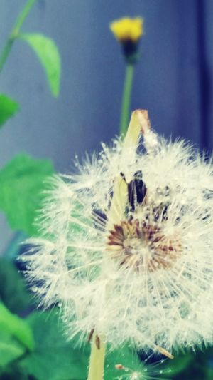 Death and Life Dandelion Weeds cycle Circle Life In Color Rebirth Seeds