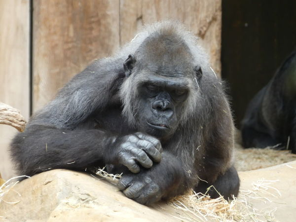 EyeEm Selects Gorilla Ape Portrait Zoo Close-up Monkey