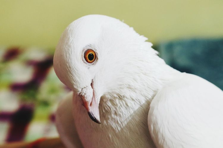 A white pegion with tilted neck
