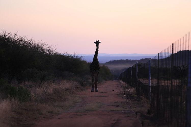 Giraffe Pink