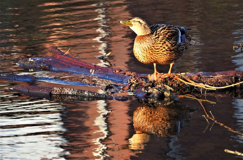 Animal Themes Animal Wildlife Animals In The Wild Bird Birds Duck And Reflection Duck And Water Duckcollection Ducks Nature One Animal Reflections