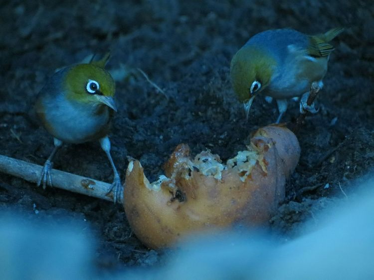 EyeEm Selects Bird Animal Wildlife Animals In The Wild No People Nature Beauty Beauty In Nature Outdoors Animal Themes Close-up Day Garden Waxeye Two Pear Pair Feeding  Eating Natural Food Organic Organic Food Life Shy Cheeky
