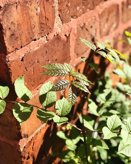 Leaves and Bricks. Leaf Plant Outdoors Growth Day No People Nature Green Color Beauty In Nature Close-up Freshness Animal Themes Nature Leafs Leaf 🍂 Leaves Leaves🌿 Leaves_collection Leafs Photography Leafporn Brick Brick Wall Outdoor Photography Outdoor Pictures Plant