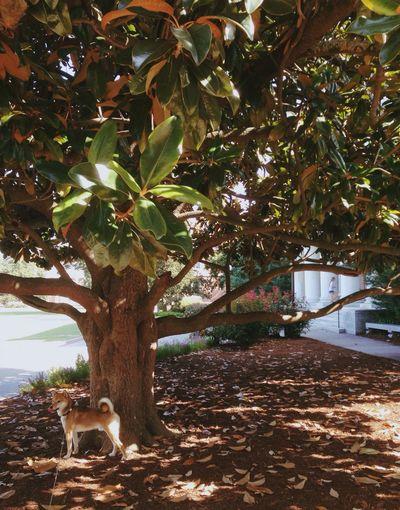 Magnolia American South North Carolina Shiba Inu Summer Summertime