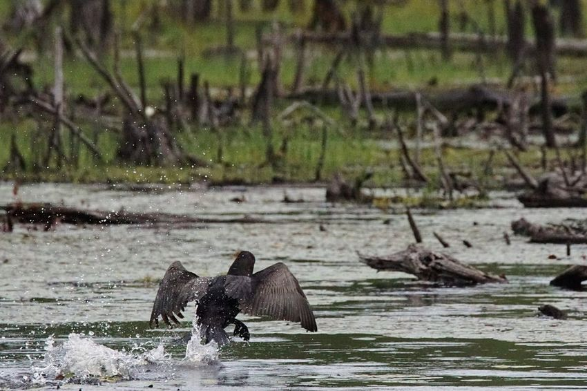 Double crested Cormorant taking off. Animals In The Wild Animal Wildlife Water One Animal Nature No People Wilderness Outdoors Day Animal Themes Bird Cormorant  Double Crested Cormorant Water Birds Shore Birds Water Bird Bird Taking Off From The Water