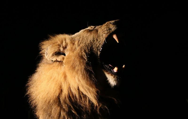 Close-Up Of Lion Against Black Background