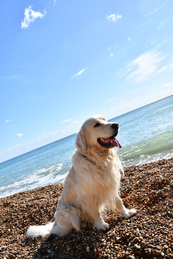 Beach Photography Dogs Golden Retriever Golden At Beach Animal Themes Beach Beauty In Nature Day Dog Dog Traveller Domestic Animals Goldenretriever Horizon Over Water Mammal Nature No People One Animal Outdoors Panting Pets Scenics Sea Sitting Sky Water