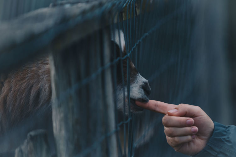 Close-up of woman hand petting goat at zoo