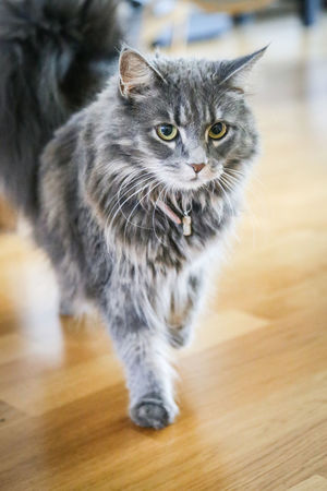 Animal Eye Beautiful Cat Cat Domestic Domestic Animals Domestic Cat Feline Focus On Foreground Full Frame Full Length Green Eyes Grey Cat Hair Home Interior Indoors  Looking At Camera Maine Coon Cat Mammal No People One Animal Pets Portrait Softness Vertebrate Whisker