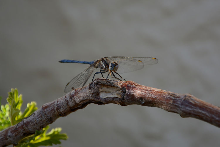 Close-up of dragonfly on branch