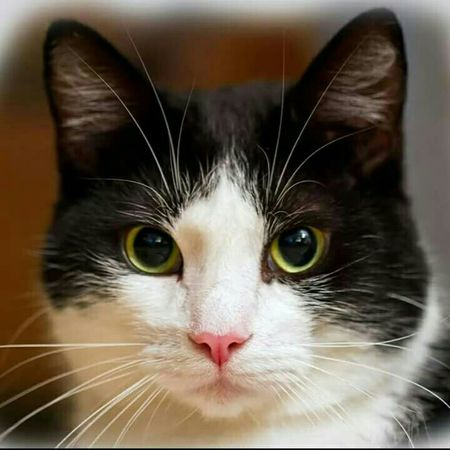 Junior from Norway 💖 2 years old 😊 Tuxedocat Tuxedocats Tuxedo Cat Lovemycat Home Sweet Home My Cat Is Cooler Than Your Kids! Black And White Cats Catlovers Catlady Adopted Hello World Norwegian Norway 2015 Enjoying Life Hi! Family❤ Lovemypets Heart Norway