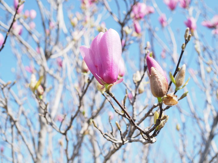 Beauty In Nature Blossom Branch Bud Close-up Flower Focus On Foreground Fragility Low Angle View Outdoors Pink Color Season  Selective Focus Spring Springtime Tree