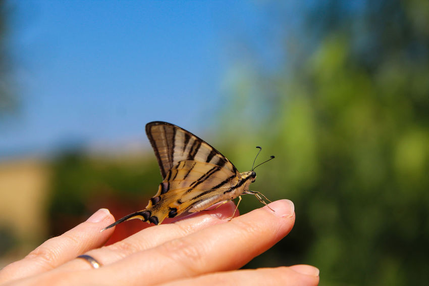 Papilio Machaon Human Hand Perching Butterfly - Insect Spread Wings Insect Close-up Butterfly