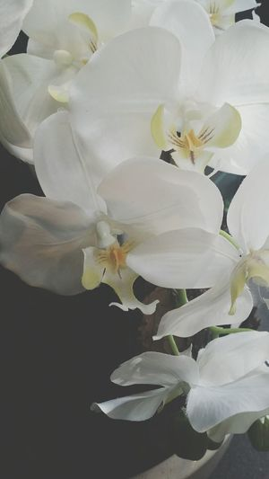 Orchidee Cataleya Likethispicture White