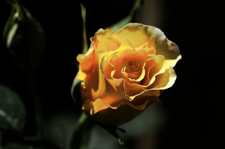 Beauty In Nature Blooming Close-up Day Flower Flower Head Fragility Freshness Growth Nature No People Outdoors Petal Plant Rose - Flower Springtime Yellow Rose
