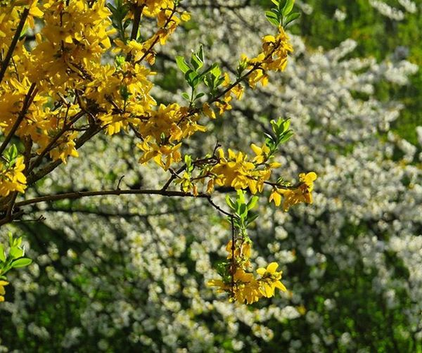 Forsythia Flowering Floweringforsythia Floweringcherry Tree Forest Nature Naturerlebnis Chillout Nature_perfection Natgeo Natgeotravel Natgeotravelpic