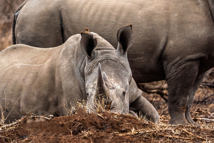 View of two rhinos on field