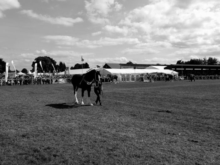 Oswestry show horse Oswestry Show Oswestry Show Men Beach Horse Sky Livestock Horse Cart Horseback Riding Cart Horse Racing Working Animal Stable Pony Mane Ranch Herbivorous Horsedrawn Saddle