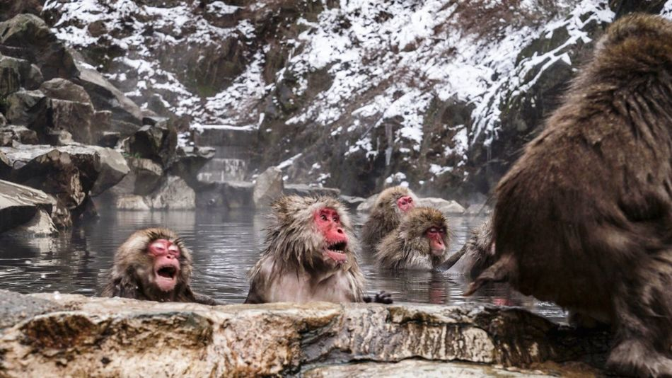 Weather Winter Animals In The Wild Snow Japanese Macaque Cold Temperature Animal Themes Animal Wildlife Nature Mammal Rock - Object Mouth Open Hot Spring Water Outdoors No People Monkey Snowing Day Tree Battle Snowmonkeys 地獄谷野猿公苑 at Jigokudani-Snow-Monkey-Park in Nagano Prefecture,Japan EyeEmNewHere Adapted To The City