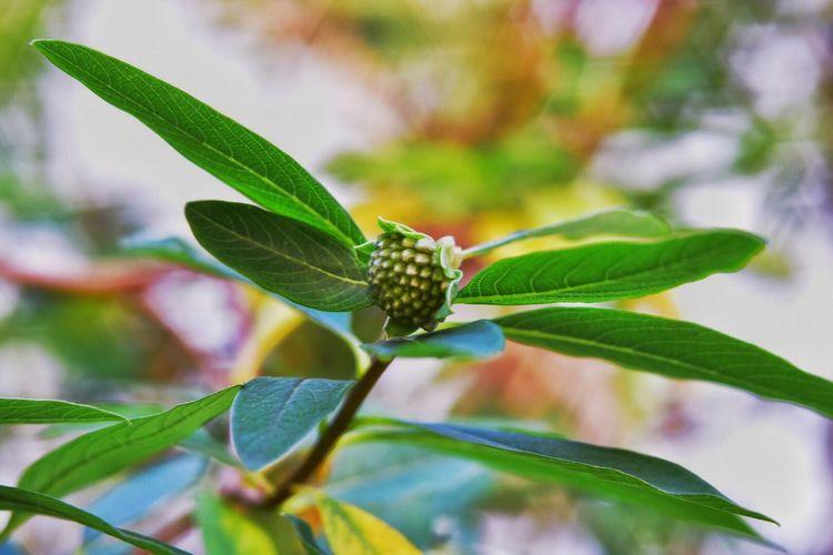ミツマタ Industar61 Oldlens Nikond750 Tranquility Leaf Green Color Growth Plant Nature No People Close-up Beauty In Nature Fragility Freshness